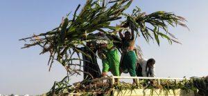 छावणीमध्ये शेतकरी चारा संकलित करताना. फोटो: सचिन मेनकुदळे.