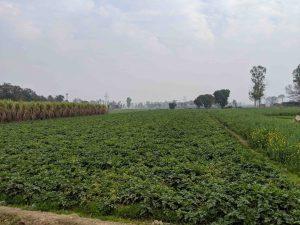 खांडवली येथील बटाट्याचे शेत सौजन्य : कबीर अगरवाल