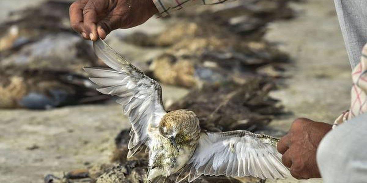 स्थलांतरित पक्ष्यांचा सांभर तलावात गूढ मृत्यू