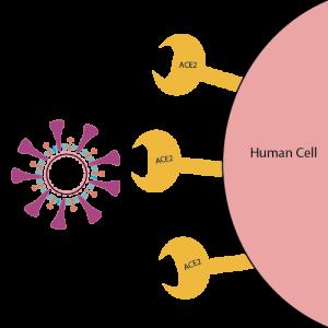 पेशीवरील AC2 ग्राही प्रथिन व विषाणू प्रथिन एकत्र आल्याशिवाय संसर्ग होत नाही.