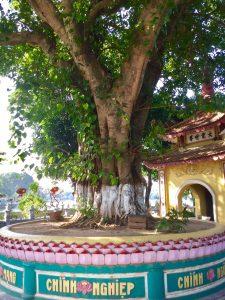 राष्ट्रपती राजेंद्र प्रसाद यांनी १९५९ साली लावलेले बोधी वृक्षाचे रोप.