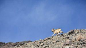 समुद्र सपाटीपासून ४,००० मीटर उंचीवरील भयानक विरळ हवेत जगण्यास सक्षम असलेला आणि एक वेगळी प्रजाती म्हणून घोषित होण्याच्या मार्गावर असलेला हिमालयीन लांडगा हा एक असाधारण प्राणी आहे.   रिंगझिन दोरजे/ एनसीएफ