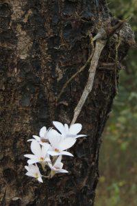 या जंगलात इतरही दुर्लभ वनस्पती आहेत जसे गुलाबी दांडे अमरी किंवा वसंत अमरी (Dendrobium barbatulum), हिलाच इंग्रजीत तिच्या खालच्या पाकळीवर येणाऱ्या केसासारख्या वाढीमुळे बिअर्डेड लीप ऑर्किड असेही म्हणतात. छाया: पियुष सेखसरीया