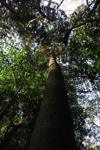 आजीवलीत भेरली माडांची अनेक झाडे असली तरी माडी उतरवण्यासाठी लागणाऱ्या कौशल्यामुळे मर्यादित प्रमाणातच माडी काढता येते. छाया: पियुष सेखसरीया
