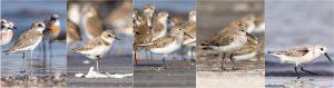 नियमित हंगामातील पक्षी [डावीकडून : 'मोठा चिखल्या' (Greater Sand Plover),'केंटीश चिखल्या' (Kentish plover), 'करडा टिलवा' (Dunlin), 'बाकचोच तुतारी' (Curlew sandpiper),'कवड्या टिलवा' (Sanderling)] छायाचित्र रमेश शेणाई