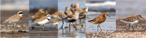 विणीच्या हंगामातील पक्षी [डावीकडून : 'मोठा चिखल्या' (Greater Sand Plover),'केंटीश चिखल्या' (Kentish plover), 'करडा टिलवा' (Dunlin), 'बाकचोच तुतारी' (Curlew sandpiper),'कवड्या टिलवा' (Sanderling)] छायाचित्र रमेश शेणाई