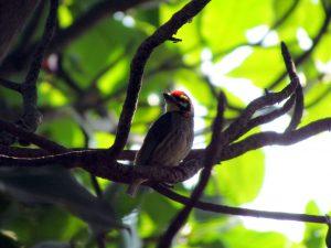 """""""टुक, टुक"""" अशा सततच्या गाण्यामुळे नाव पडलेला तांबट पक्षी मुंबईत उन्हाळ्यात सहज दिसतो."""